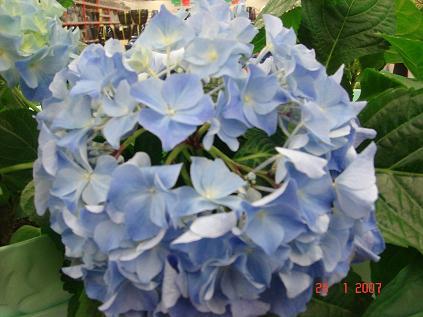 Hortensia Engångsväxt Eller övervintrare Krukväxter Utomhus