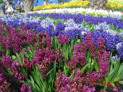 Hyacinter i rabatt - Lök- och knölväxter. - Trädgård iFokus