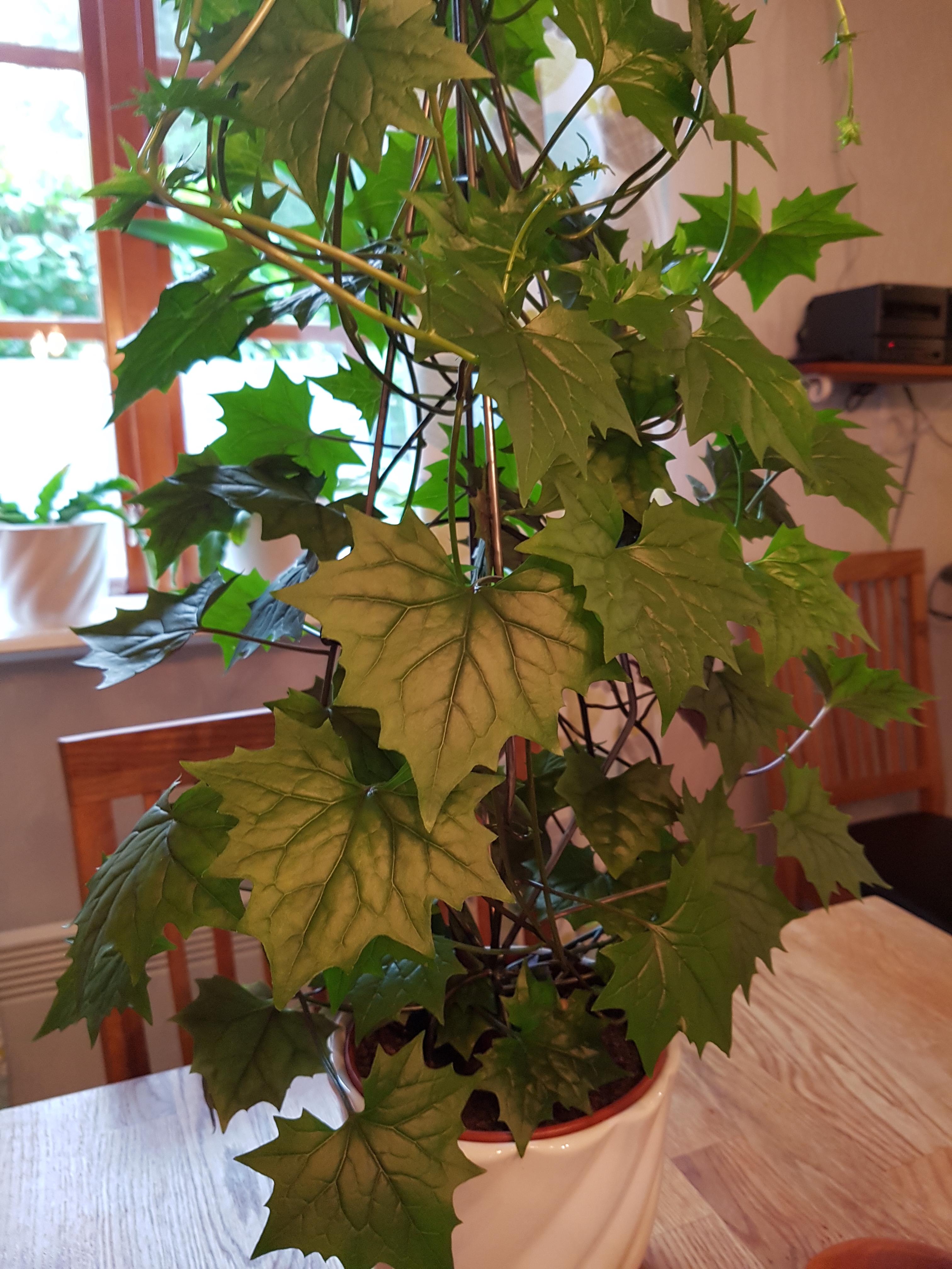 Vad är detta för växt?   krukväxter, utomhus och inomhus ...